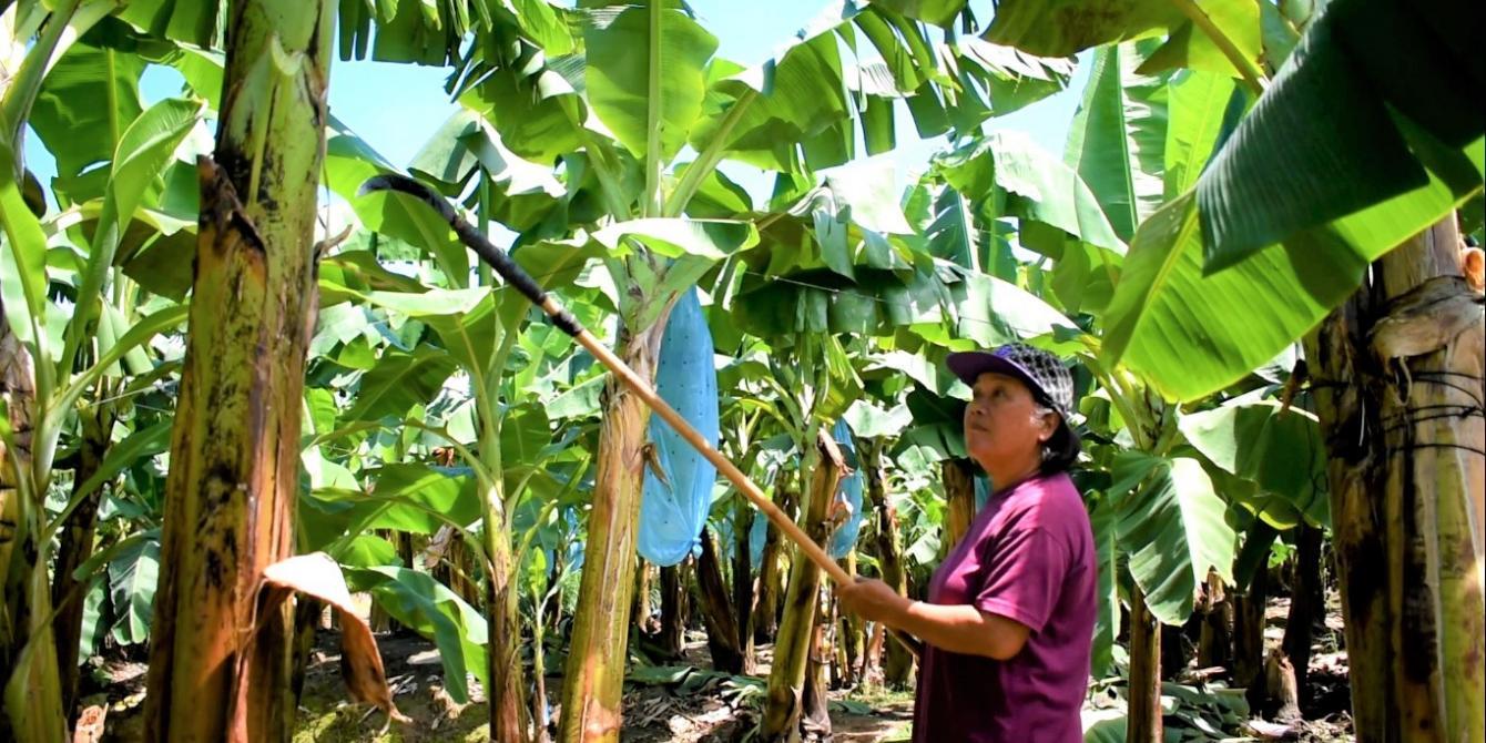 A woman banana farmer
