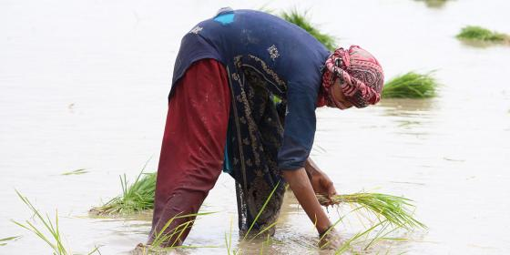 Urgent action needed for Asia's rice farmers