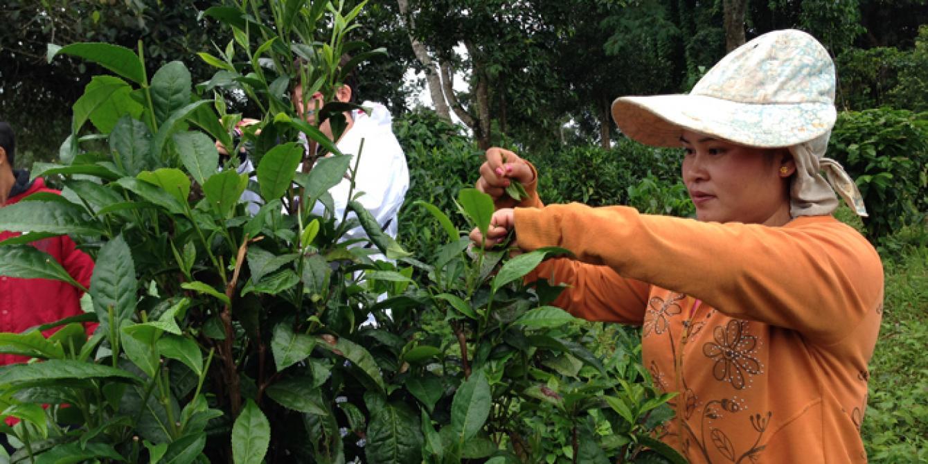 woman harvesting tea leafs