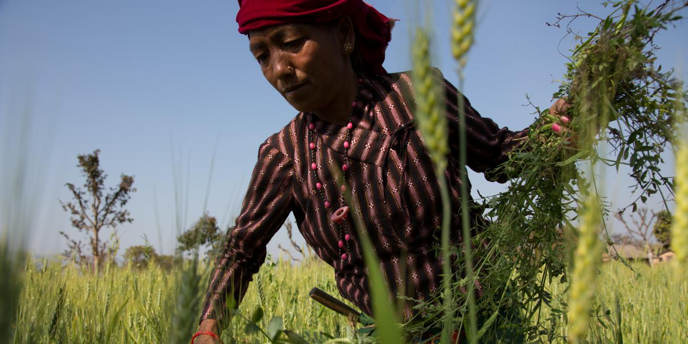 Tika Darlami, 45, weeds her wheat field and collects foliage for her livestock - Aubrey Wade/Oxfam