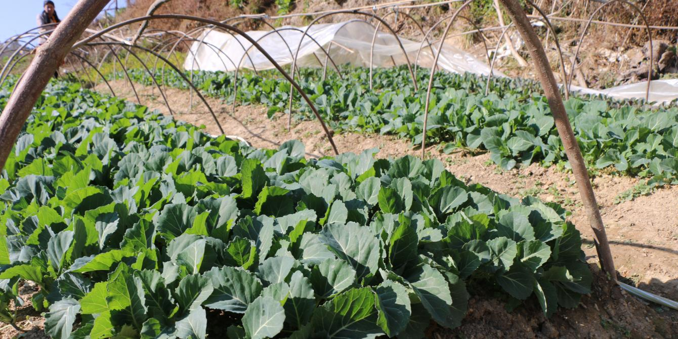 Cauliflowers grown in Makwanpur after nursery management training. Photo by: Prerana Marasini/Oxfam