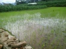 One of the rice fields that receives water from the pond - Credit: Lucia de Vries/Oxfam