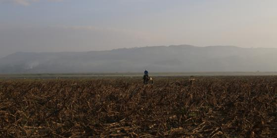 A farmer passes through a corn farm damaged by typhoon Ompong (Mangkhut) in Cagayan. (Photo: Denvie Balidoy/Oxfam)