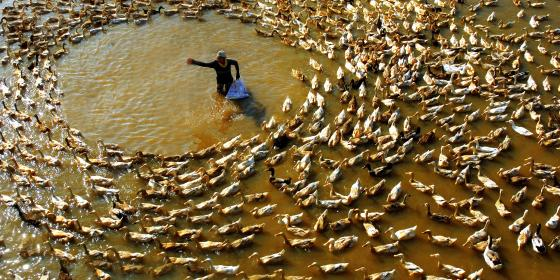 A duck farmer feeds his flock. Credit: Oxfam Vietnam