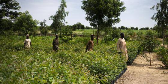 Farmers are walking through a nursery in Nigeria to collect Moringa plants that will help fight the effects of climate change.